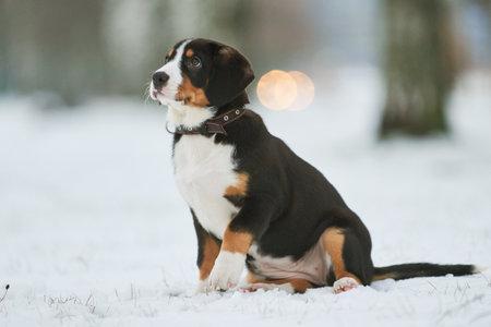 Entlebucher sennenhund puppy in winter. Loyal pet friend