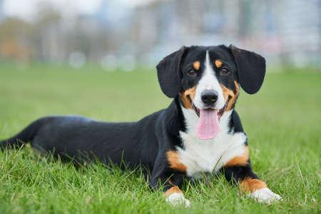 Entlebucher sennenhund outdoors on grass. Loyal pet friend Standard-Bild