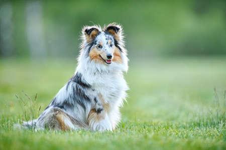Shetland Sheepdog outdoors on grass. Pet friend Standard-Bild