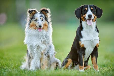 Entlebucher sennenhund and sheltie outdoors on grass. Pet friends