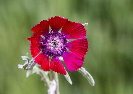 Love flower, flip-flopping, bride button, red cornflower, wicker flower (Centaurea tchihatcheffii), papatyagiller (from Asteraceae) family, to Turkey specific Stok Fotoğraf