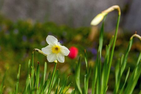 Daffodil flower a large macro