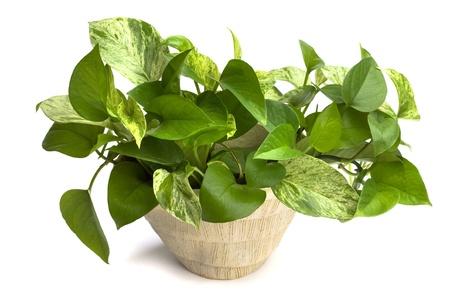 crecimiento planta: planta casa aislada en blanco