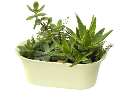 흰색 배경에 고립 된 냄비에 집 식물,