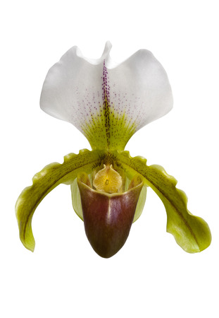 Paphiopedilum orchid flower isolated on white background