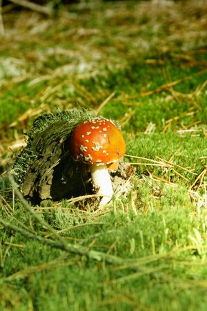 Mushroom in the autumn in wood on green clearings photo
