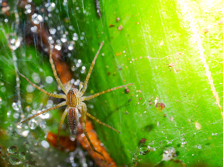 rain forest animal: Spiders are on the spider web on leaves. There are drops of water on the spider web.