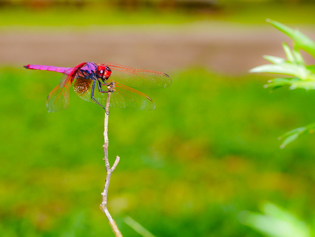red dragonfly sitting on dry branch