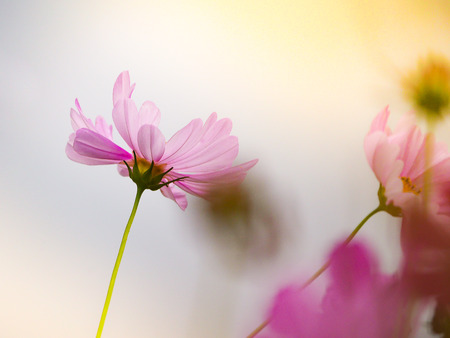 the pink cosmos flower in the garden field on beautiful sunny day