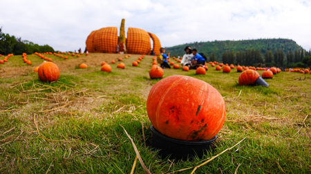 Pumpkin in a black container Put on the lawn Stock Photo