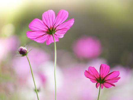 the  cosmos flower in the garden field on beautiful sunny day Stock Photo