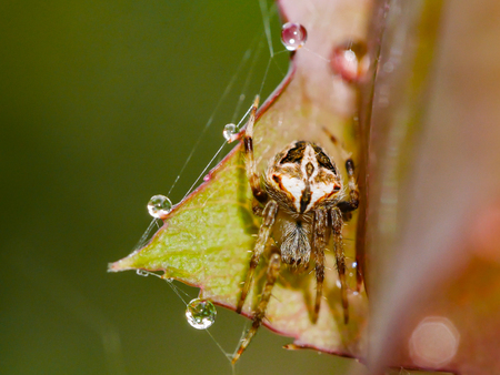 close up of spider with cobweb on leaf with droplet after raining