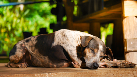 a brown black and white dog is sleeping on the ground with warm sunlight. Stock Photo