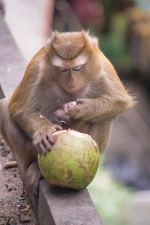 brown monkey sitting on concrete ground floor and eating green coconut Stock Photo