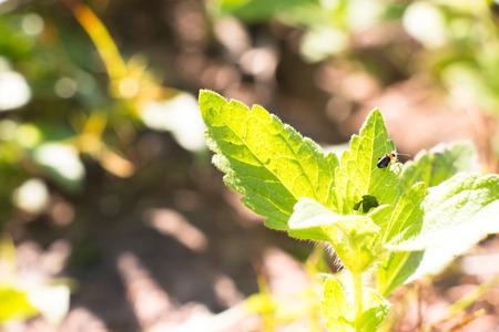 vida natural: Poco de insectos de hoja, un poco de vida viven en la hoja, natural de gran belleza