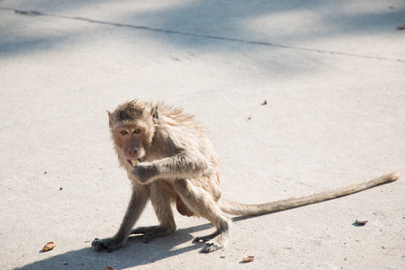 crowd tail: monkey is sitting and eating in temple, a big group of monkeys live in temple and forest in thailand. Stock Photo
