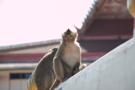 crowd tail: monkey is sitting in temple, a big group of monkeys live in temple and forest in thailand.