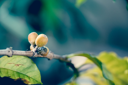 embryo growth: Coffee Berry Disease, fungus of Colleto- trichum coffeanum Stock Photo