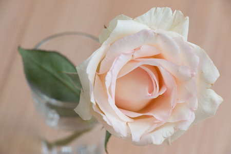 Close up Pink Pastel Rose, isolate Background. Stock Photo
