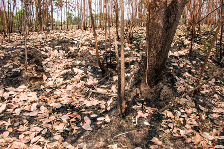 arbol de problemas: Ash and burned tree after fire. Deforest problem and fire for agriculture by farmer. Green house effect, global warming, and  elnino effect problem.