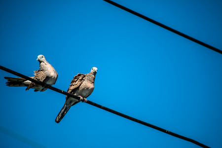 Dove is a ture Lover,two birds are on wire. They are a couple and bird family.