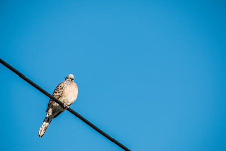 Dove is on wire. Dove is a ture love and bird family. Stock Photo