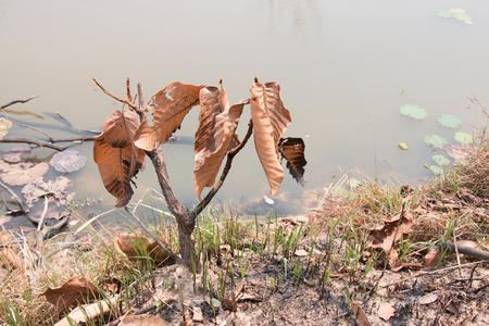"""arbol de problemas: Cenizas y quemó el árbol después de un incendio cerca del río. Deforest problema y fuego para la agricultura por el agricultor. efecto de casa verde, calentamiento global, y elnino problema de efecto """"."""