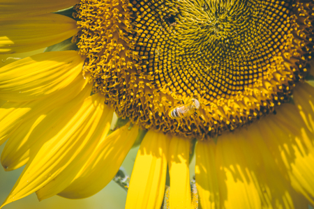 Select focus Pollen of Sunflower. Spring season, Bee is storing the sugarsyrup sunflowers is blooming in farm, Saraburi, Thailand