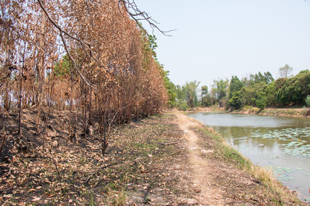 Ash and burned tree after fire. Deforest problem and fire for agriculture by farmer. Green house effect, global warming, and  elnino effect problem.