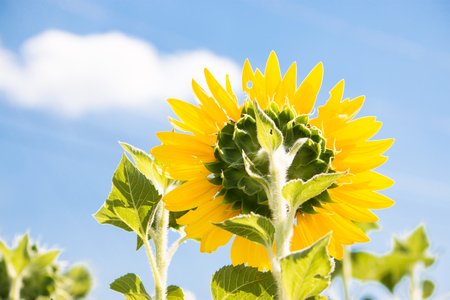 Sunflowers is blooming in farm with a beautiful sunshine day, Saraburi, Thailand