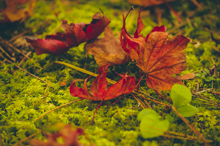 maple leaf fall on the floor, Background of colorful autumn leaves on forest floor
