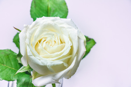 Blossom white rose, queen of flower on white background, Valentines Day background.