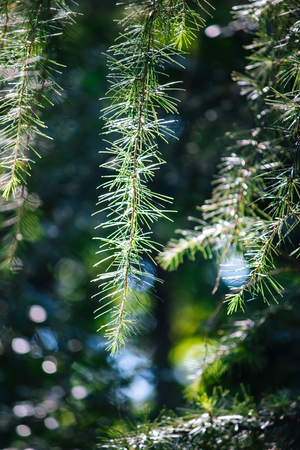 sway: Glow of fir pine tree leaf in morning sun shine sway with wind, background texture and wallpaper concept.