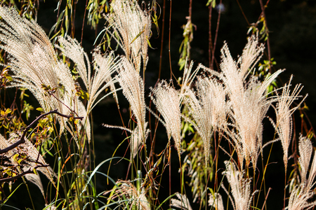 Glow of flower of grass in evening sun shine sway with wind, background texture and wallpaper concept.