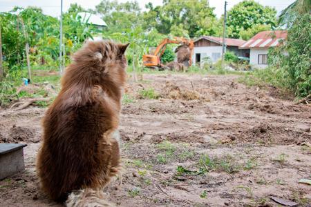chocolate brown Alaskan Malamute sit and turn back, adult dog alaskan malamute sitting in grass garden look foreward.