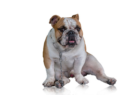 Dog hybrid species in Asia. Separated from the white background reflection.