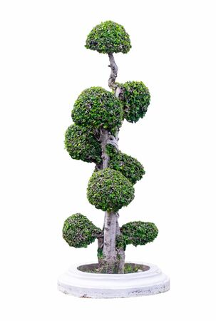 bonsai tree in garden nature isolated on background