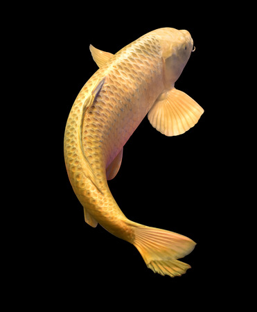 Beautiful gold carp fish swimming in the pond