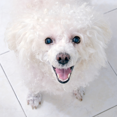 White poodle toy dog smiles Banque d'images - 106808760