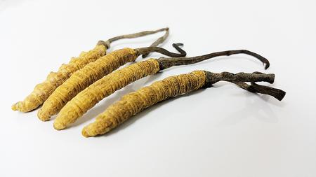 Cordyceps on a white background Stock Photo