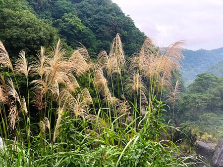 Beautiful Imperata cylindrica(cogon grass) with the mountain as background