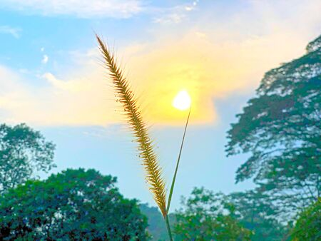 Macro view of single lalang (cogon grass) against the sun at the background