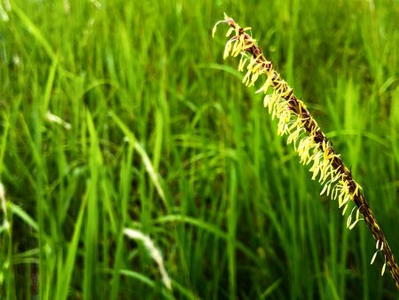 Selective focus of cogon grass with bokeh background