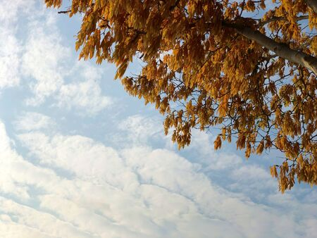 Brown/ Orange leaves during autumn under cloudy blue sky Stock Photo