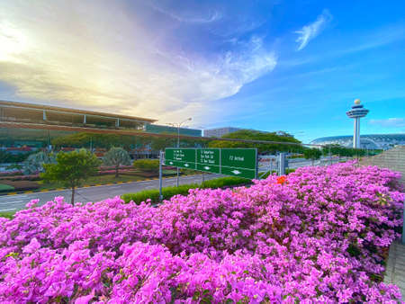 SINGAPORE, 4 APRIL 2020 : Bougainvillea blossoms near Changi Airport, with control tower and JEWEL at the background
