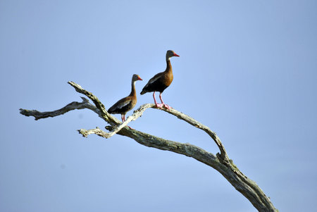 A pair of black bellied whistling ducks
