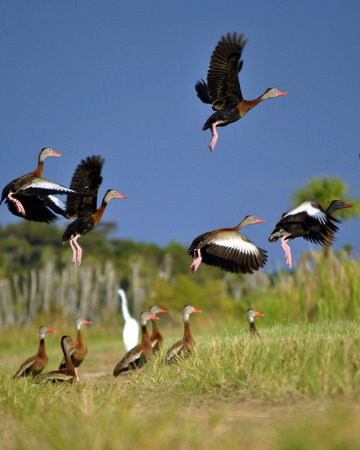 whistling: A flock of Black Bellied Whistling Ducks
