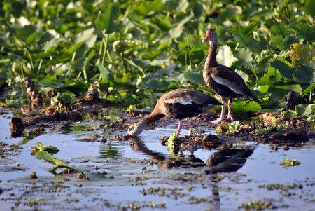 feasting: Feasting Black Bellied Whistling Ducks