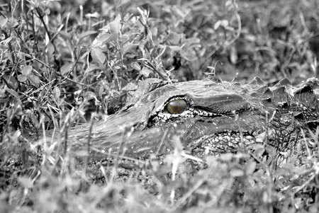 alligator eyes: Black and White Alligator in Grass