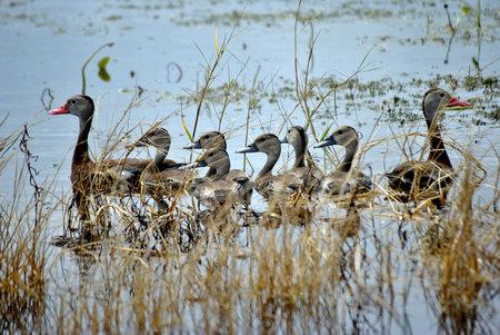 Black Bellied Whistling Duck Family Stock fotó